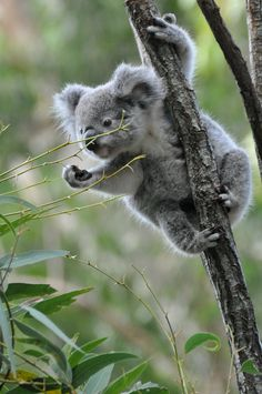 "* * "" Yo mate! Over heres! Me needs mores eucalpytus leaves. Meez ates allz de ones on dis tree."""
