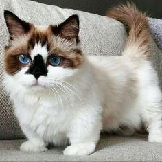Cute kitty This is a Munchkin Kitten! Puppies And Kitties, Cute Cats And Kittens, Baby Cats, Cool Cats, Kittens Cutest, Dwarf Kittens, Dwarf Cat, Gato Munchkin, Pretty Cats