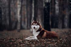 Wonderful All About The Siberian Husky Ideas. Prodigious All About The Siberian Husky Ideas. Siberian Husky Puppies, Husky Puppy, Siberian Huskies, Husky Brown, Husky Grooming, Husky Drawing, Wolf Husky, Dog Photography, Beautiful Dogs