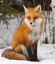 Red Fox (vulpes vulpes) vixen/female in snowy, winter forest habitat, with a new coat of fur.The Life and Times of a Contemporary New England Witch: My Magickal Train Ride this Week There are many more humane sports and plenty Of warm polyesters out Nature Animals, Animals And Pets, Cute Animals, Beautiful Creatures, Animals Beautiful, Fuchs Baby, Fuchs Illustration, Forest Habitat, Fantastic Fox