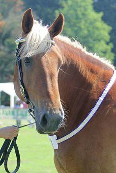 All The Pretty Horses, Beautiful Horses, Animals Beautiful, Cute Animals, Animal Fun, Beautiful Life, Palomino, Suffolk Punch, Draft Horses
