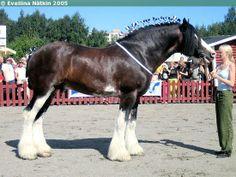 Clydesdale stallion Hillside Lord Lyon