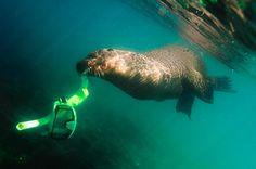 Animales marinos: León marino