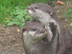 This cute small clawed Otter Family love nothing better than to kiss and cuddle each other.