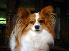 Want to own a Papillon dog? Three facts that will convince you to get one - National Dogs   Examiner.com