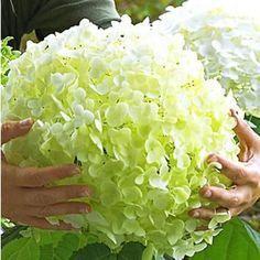 "Freiland-Hortensie ""Incrediball®"",1 Pflanze"