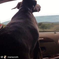 Shadow the black labrador loves car rides.