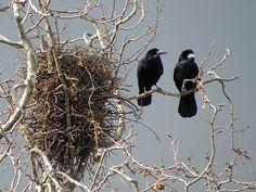 Corbeaux freux au nid