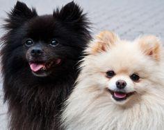 Pomeranians - Pomeranians