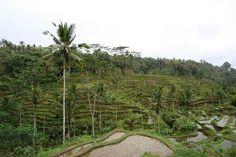 Rice plantations Ubud