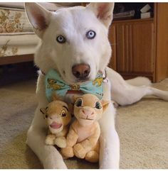 Perfect! I love huskies and lion king ❤️ I need that bow tie :3
