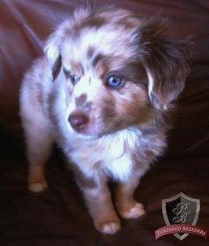 Best Australia Chubby Adorable Dog - e009cfbc1679e2f963f2bfaa3128f056--miniature-aussie-miniature-australian-shepherds  Collection_223295  .jpg