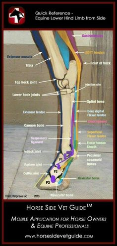 Tendons abd muscles