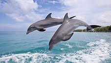 Delfines comunes nariz de botella saltando (Roatán, Honduras)