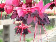 Fuchsia blackie, hummingbirds love this flower Hanging Baskets, Hummingbirds, Apple, Fruit, Flowers, Fall Hanging Baskets, Apple Fruit, Florals, Hummingbird