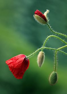 Papaver by Mycatherina Red Poppies, Red Flowers, Amazing Flowers, Flower Art, Peonies, Floral, Bloom, Plants, Gardenias