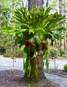 Platycerium, Tropical, Epiphytic Fern