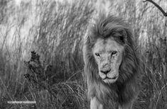 #southafrica #lion #wildlife #bigcats #wild#black&white#instadaily #instagram #like4like #natgeo #natgeotravel #natgeoyourshot #nikon #photography #photooftheday #jihadadnanphotography http://tipsrazzi.com/ipost/1523821689799718051/?code=BUls8DZjDSj