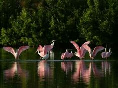 Pink Spoonbills, taken by Captain Dale Bishop of Shallow Waters Charter at Cudjoe Key 19 miles north of Key West.