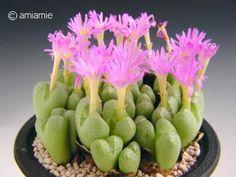 Conophytum violaciflorum 明窓玉