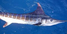 Bite Me Fishing Charters - targeting Marlin out of Yeppoon and Cairns