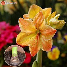 Rare Amaryllis Bulbs Hippeastrum Bulbs Amaryllis Flower  2 Bulbs >>> Want additional info? Click on the image.
