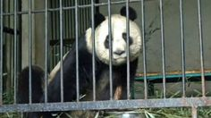 Jedna w głębokiej śpiączce, dwie zarażone. Nosówka zabija pandy wielkie. http://tvnmeteo.tvn24.pl/informacje-pogoda/swiat,27/jedna-w-glebokiej-spiaczce-dwie-zarazone-nosowka-zabija-pandy-wielkie,154255,1,0.html