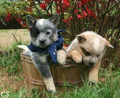 2008 Australian Cattle dog pups~Long Creek Cattle dogs
