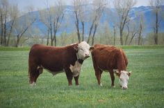 Hereford Cattle, Future Farms, Beef Cattle, Down On The Farm, Livestock, Farm Life, Country Living, Homesteading, New Zealand