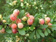 Berberis wilsonie is native to east Asia. The fruit is edible raw or cooked, very acidic with a lemon-like flavour