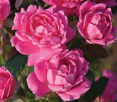 Huge, Maintenance-Free Double Pink Roses   - The Pink Double Knock Out Rose is famous for... • Huge double blooms (18-25 petals per flower) • Low maintenance (no spraying, no dead-heading) • Resistant to blackspot, mildew, and other rose diseases  This is the rose bush for those who hate the headaches of rose gardening....