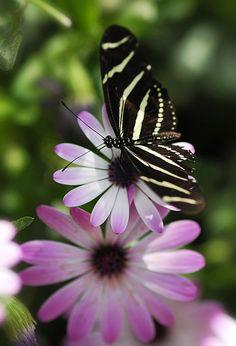 Zebra Longwing on Daisy - ©Saija Lehtonen (via FineArtAmerica)