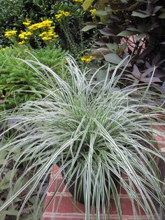 Gorgeous, vivid leaves! Carex oshimensis Everest (TM) PP20955. Excellent container plant and lovely in mixed borders.