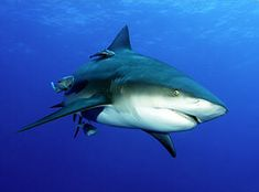 Bull Shark Head On in the Indian Ocean near Mozambique shark photo at Shark information, including more information and related photos. Underwater Creatures, Ocean Creatures, Arthritis, Shark Information, Shark Head, Species Of Sharks, Shark Photos, Hai, Killer Whales