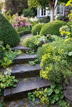 Stone steps. Pathway with box topiary and flowerbeds edged with box hedging. mature horse chestnut tree. Rosa 'Ferdy'. Alchemilla mollis. Marina Wust, Germany