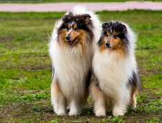 Beautiful pair of Collies.