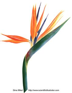 Bird of Paradise watercolor illustration by Gina Mikel, Scientific Illustrator