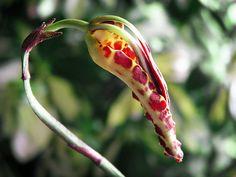 Oncidium (Psychopsis) Mendenhall 'Hildos' FCC/AOS by v0lta1c, via Flickr