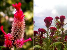 Morog Flower (মোরগ ফুল) -Plumed Cockscomb Flower