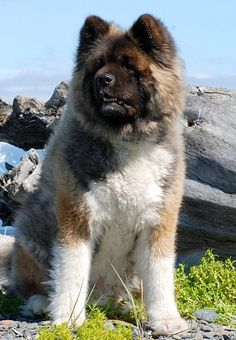 American Akita Long Coated Variety Favorite Dog Breeds