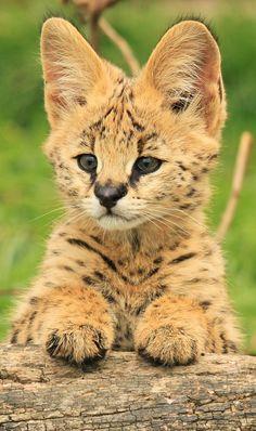 Cute Little Serval Cub Portrait (by TenPinPhil)