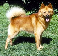 "Finnish Spitz - a breed of dog originating in Finland. The breed was originally bred to hunt all types of game from squirrels and other rodents to bears; it is a ""bark pointer"", indicating the position of game by barking to attract the hunter's attention. Its original game hunting purpose was to point to game that fled into trees, such as grouse, and capercaillies, but it also serves well for hunting moose and elk. Some individuals have even been known to go after a bear. In its native…"