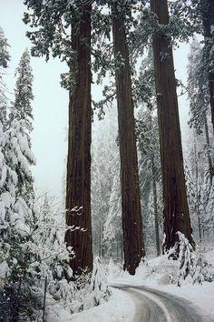 Sequoia trees, WinterJohn Wolf