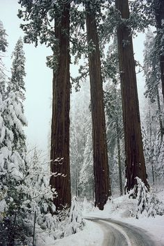 Sequoia trees, Winter - John Wolf