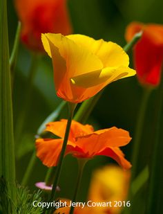 Golden California Poppy Vibrant Yellow by PhotosbyJerryCowart
