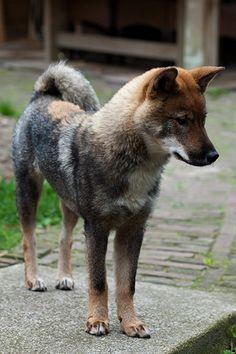 shikoku--primitive Japanese breed, resembles wolf/Shiba Inu cross