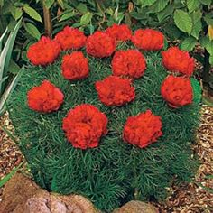 Fern leaf Peony...Double.   Just bought this,...or shall I say invested in it...2014