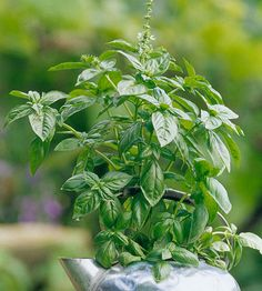 See how easy it is to grow basil indoors or outdoors. You'll love having fresh basil right at your finger tips. Follow this easy guide that will show you everything you need to know about growing basil. Learn the basil basics and have fresh basil for all your delicious recipes.