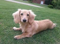 English Cream Dachshund  ~ Beckham! Weenie Dogs, Dachshund Puppies, Dachshund Love, Baby Puppies, Cute Puppies, Dogs And Puppies, Cute Dogs, Doggies, Daschund