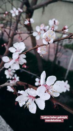 Apricot Blossom, Dandelion, Flowers, Plants, Dandelions, Plant, Taraxacum Officinale, Royal Icing Flowers, Flower